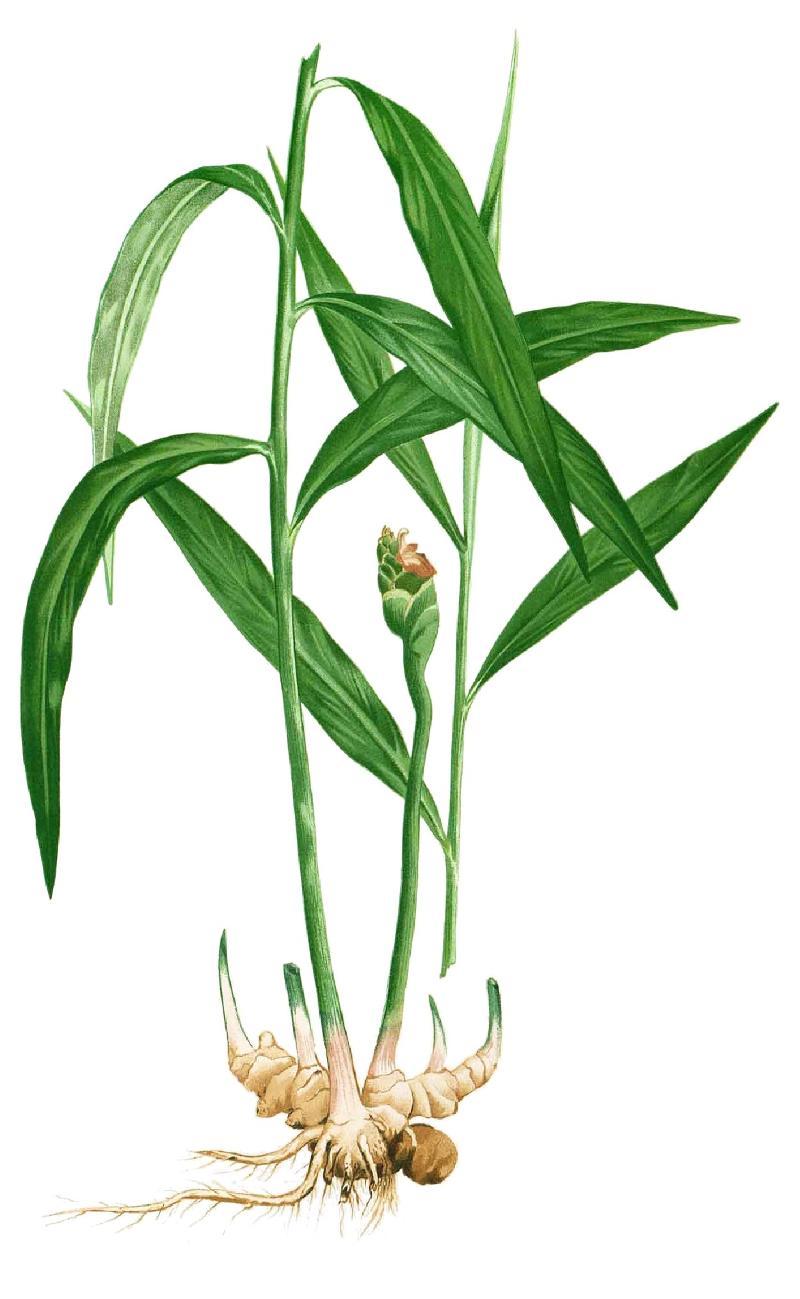 pianta-di-zenzero-Plante-de-gingembre