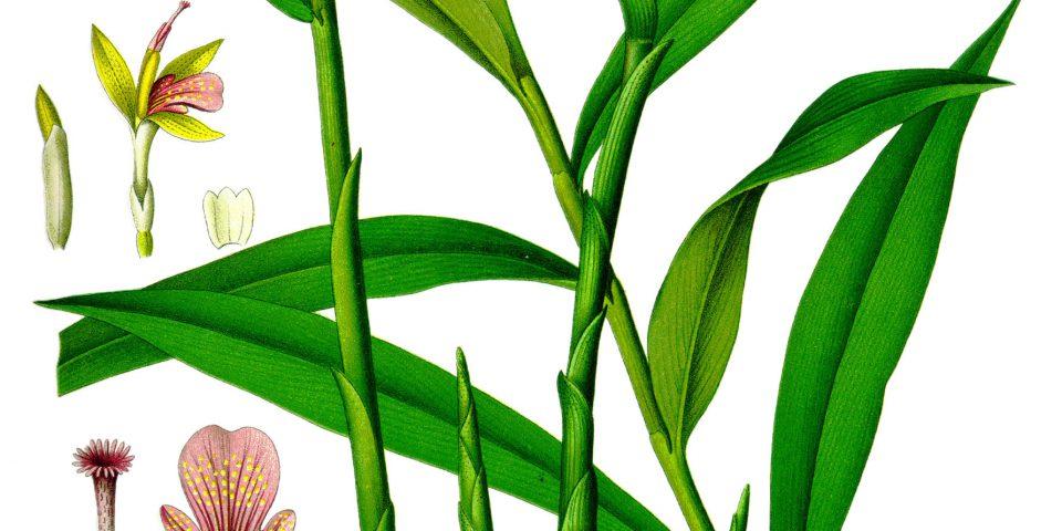 zenzero, pianta in vaso, coltivare lo zenzero in casa