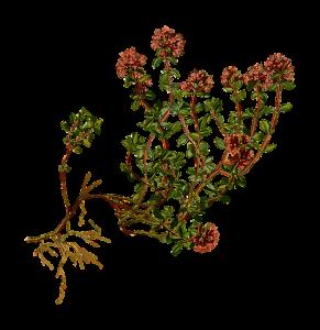 ramo di timo - thym